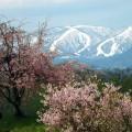 桜と雪のコラボ。工法の夏油高原スキー場は、7月開催のヒルクライムのゴールで、例年5月の連休まで滑走可能!