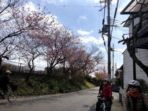 南湖一周 桜